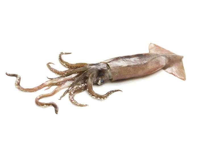 Flying-squid (o Summer squid)
