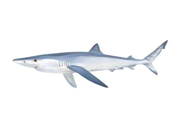 Quenlla / Tintorera / tiburón azul