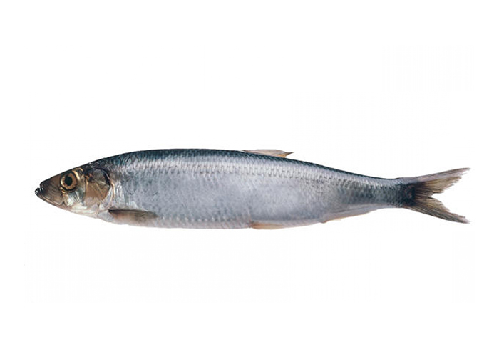 North sea Herring
